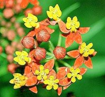 Apollo Orange butterfly plant Asclepias curassavica. This plant has soft orange with gold center blossoms and is hardy in zones 8-11 and will bring more butterflies than you can imagine. An added bonus is that this plant is deer-proof if that is a problem in your gardens. These perennials grow 3 to 4 feet tall in full sun and sandy soil is best for them. Quite a drought tolerant plant.