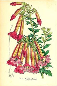 Antique print: picture of Cantuta (Cantua buxifoli) - Peru (national flower)