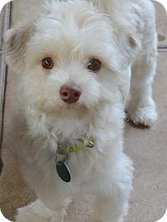 Marina Del Ray, CA - Maltese/Poodle (Miniature) Mix. Meet SCOOTER - Video to view, a puppy for adoption. http://www.adoptapet.com/pet/11105880-marina-del-ray-california-maltese-mix