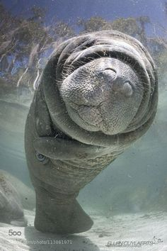 How can you not love this little guy! | Manatee in Florida