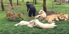Leopardo intenta atacar a un humano y un tigre lo detiene