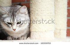 silver cat of siberian breed on the scratching post @shutterstock #cat #kitten #pet #animal #cute #gatos #little #feline #puppy #siberian #meow #cuddling