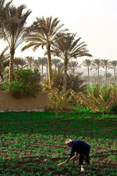 Egyptian farmer hoeing his field as a bird watches, Saqqara, Egypt Agriculture, Life In Egypt, Egypt Today, Places In Egypt, Modern Egypt, Visit Egypt, Nile River, Cairo Egypt, North Africa