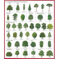 pine tree identification chart joyofmusic info, the gallery for gt female pine cone vs, pine cone spiral, virginia living museum so you found a snake in your yard, 6 trees every survivalist should know why the prepper dome Garden Shrubs, Garden Trees, Garden Plants, Gardening Vegetables, Trees And Shrubs, Trees To Plant, Evergreen Trees Landscaping, Types Of Evergreen Trees, Evergreen Shrubs