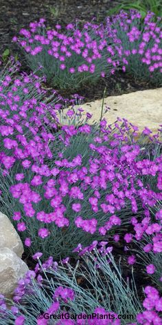– Dianthus Firewitch – easy to grow groundcover for a sunny spot in the garden. – Dianthus Firewitch – easy to grow groundcover for a sunny spot in the garden. Garden Shrubs, Lawn And Garden, Garden Planters, Outdoor Plants, Outdoor Gardens, Beautiful Gardens, Beautiful Flowers, Landscape Design, Garden Design
