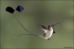 Marvelous Spatuletail or Peruvian  racquet-tailed hummingbird. Exists only in a remote valley of northern Peru