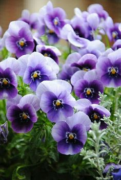 pansies dark purple and the white smell awesome ox Amazing Flowers, Purple Flowers, Spring Flowers, Beautiful Flowers, Purple Lilac, Lavender Flowers, Beautiful Gorgeous, Exotic Flowers, Yellow Roses