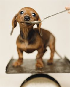 just a spoonful of sugar... #doxie #cute #dachshund