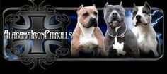 Buy American pitbull puppies from Alabama Iron. We have a huge stock of healthy Bully Pitbull Puppies at very best prices. Visit our website and contact us today. Pitbull Kennels, Bully Pitbull, Blue Nose Pitbull, American Pitbull Puppies, Pitbull Puppies For Sale, Kennels For Sale, Bullying, Alabama, Pitbulls