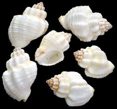 Cancellaria Shells: •Family Cancellariidae. Composed of several hundred species found in tropical seas (rare occasions in temperate regions) worldwide. Common shell of the Indo-Pacific region preferring the shallow tidal zones.