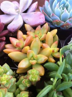Thinking about buying succulents online? Here's a quick guide about where to buy succulents find out which one is the best. Baby Succulents, Planting Succulents, Planting Flowers, Colorful Succulents, Succulent Plants, Colorful Plants, Flowers Garden, Air Plants, Garden Plants