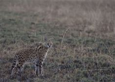 A glorious showcase of Shumba guide Isaac's recent sightings from his game drives on our concession in the Kafue's phenomenal Busanga Plains. Serval, Wilderness, Safari, Wildlife Nature