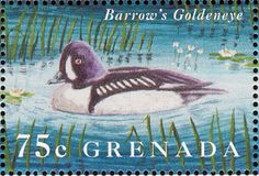 Barrow's Goldeneye stamps - mainly images - gallery format