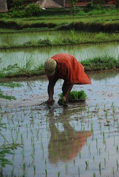 Bali - travail dans les rizières