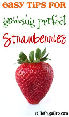 15 Easy Tips for Growing Perfect Strawberries! ~ from TheFrugalGirls.com - you