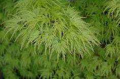 Znalezione obrazy dla zapytania Acer palmatum Seiryu