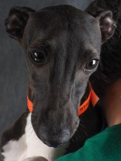Meet Cricket, a Petfinder adoptable Italian Greyhound Dog | Colorado Springs, CO | Hi there! I was recently rescued by National Mill Dog Rescue, and my dedicated care team is still...