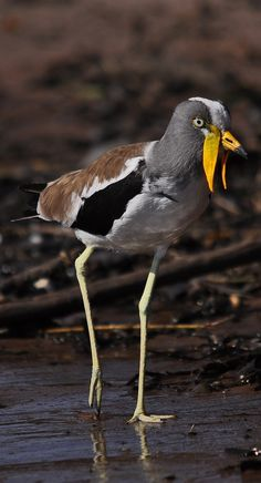 A white-crowned lapwing. #Animals #Birds