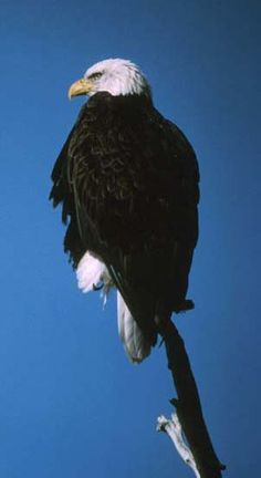 Bald eagle facts and conservation information from  the US Fish and Wildlife Service