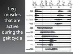Here is a good visual of how the muscles of the lower leg are working during the gait cycle. Physical Therapy School, Physical Therapist, Occupational Therapy, Medicine Notes, Sports Medicine, Pta School, Sports Therapy, Musculoskeletal System, Podiatry