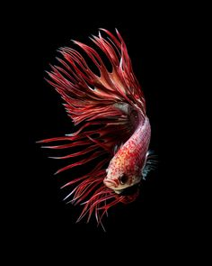 Red crowntail betta fish by Jirawat Plekhongthu on 500px