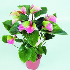 Semillas de Flores raras Pink + Green Anthurium Andraeanu Semillas Balcón En Maceta Semillas de Flores para el Jardín de DIY 120 UNIDS