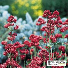 """Pink Centranthus ruber Coccineus, Centranthus ruber Coccineus, Jupiter's Beard  Full Sun Morning Sun & Afternoon Shade Mature Height24-36"""" tall Mature Spread30"""" wide Bloom TimeLate spring to early summer"""