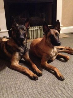 Maces Malinois, Breeder, trainer and sales of German Shepherds and Belgium Malinois adults and puppies