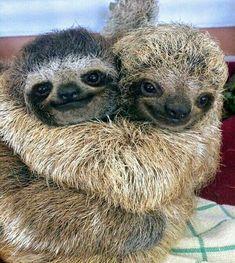 cute sloth Sometimes you've just got to hug it out Cute Baby Sloths, Cute Sloth, Cute Baby Animals, Funny Animals, Funny Sloth, Cute Hug, Baby Otters, Animal Hugs, My Spirit Animal