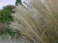 Miscanthus sinensis 'Sarabande' eulalia