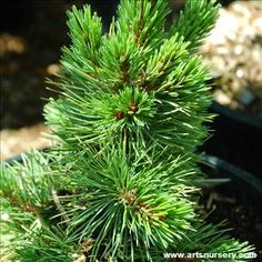Pinus aristata and many other plants like it are available at Arts Nursery