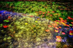 Green pond with koi fish. Some of these fish I did not know existed! BLUE? and PURPLE? WOW!