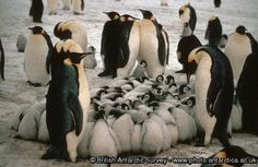 Penguin of the Day - 2012-10-10