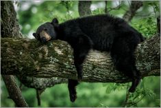 A black bear takes a nap in Great Smokey Mountain National Park - Photo: Charlie Choc