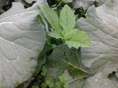 園地裡,除了被種植的菜之外,還有其他的野菜哦!你看得出來這是什麼野菜嗎?~就是昭和草,也就俗稱的山茼蒿。看它那不甘示弱的硬要從中間長出來,就知道野草的能力多麼堅韌。