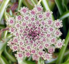 I really want this in our garden! The prettiest Queen Anne's Lace! ***Daucus carota (common names include wild carrot, (UK) bird's nest, bishop's lace, and (US) Queen Anne's lace)*** Exotic Flowers, Amazing Flowers, Beautiful Flowers, Types Of Flowers, Wild Flowers, Summer Flowers, Queen Anne's Lace Flowers, Queen Annes Lace, Cactus Y Suculentas