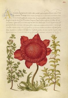 Basil Thyme, Poppy Anemone, and Myrtle, Joris Hoefnagel illuminator, Mira calligraphiae monumenta 86.MV.527.
