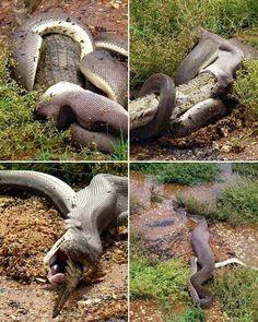 A snake eating a crocodile. Yep, that's what I said.