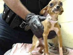 35 HOARDING CASE DOGS CAME IN TO DOWNEY TODAY! PIEPERS IS ONE OF THEM. THE BREED DOES NOT SEEM TO BE ACCURATE YET. CHIHUAHUA! PLEDGES AND RESCUE NEEDED! A4809544 My name is Piepers and I'm an approximately 5 month old female jack russ terr. I am not yet spayed. I have been at the Downey Animal Care Center https://www.facebook.com/photo.php?fbid=837407316339602&set=pb.100002110236304.-2207520000.1426898085.&type=3&theater