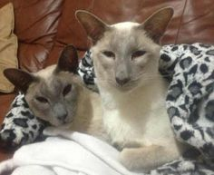 The Lilac Point Siamese cat (or Frost Point Siamese) is palest of pale. See what it looks like and learn more about its very special nature.