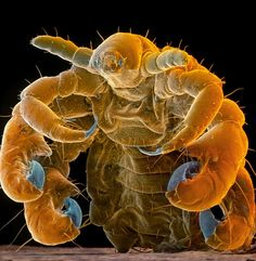A crab louse normally lives on the pubic region of humans - and can also be found in eyelashes
