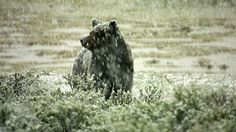 Yellowstone grizzlies, delisted as an endangered species in March, are in trouble. Concerned scientists and celebrities turn to the President to reconsider.