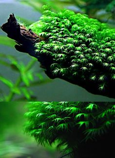 Endless list of favorite aquatic plants: 17/* → Fissidens fontanus (photos © by rybicky.net/ (first picture) and cnj0321 at ebay.com (second picture)
