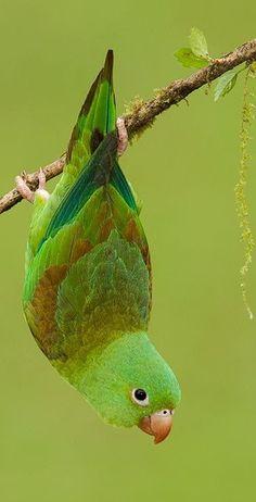 Tropical Birds, Exotic Birds, Colorful Birds, Exotic Pets, Cute Birds, Pretty Birds, Beautiful Birds, Animals Beautiful, Animals And Pets