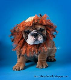 Another funny story about the grumpy bulldog puppy from http://daisythebully.blogspot.com