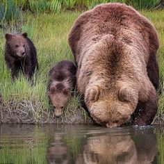 thirsty bear momma & cubs