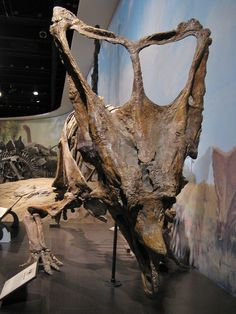 Chasmosaurus | Flickr - Photo Sharing! :Chasmosaurus The first recognized skeleton of Chasmosaurus was named by Lawrence Lambe in 1914. The large skin-covered openings, or chasms, in the frill of this dinosaur would have made the frill too fragile to use in defence. Chasmosaurus is the only chasmosaurine with small, backwardly curving orbital horns. This dinosaur is from the Late Cretaceous, 75 to 74.5 million years ago in the Dinosaur Provincial Park, Alberta: