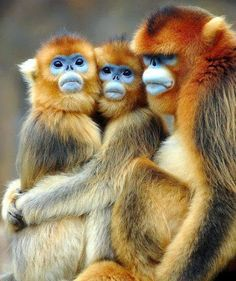 The golden monkey is a species of Old World monkey found in the Virunga volcanic mountains of East-Central Africa (north of Lake Kivu).  The color of their fur is so warm in contrast to the icy-blue color of their faces as if they've been snacking on a frozen blueberry snow cone.  So delightful!