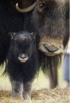 Картинки по запросу baby musk ox