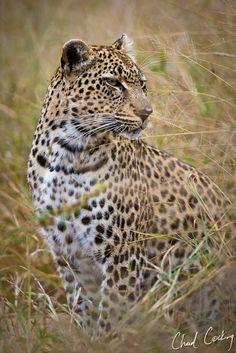 Chad Cocking | Motswari | Leopard